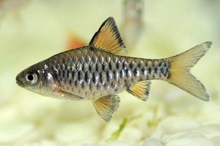 Checkered barb, Oliotius oligolepis